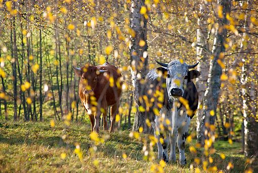 COW 02 KH0104 01 © Kimball Stock Vosges Cows Walking In Meadow With Birch Trees