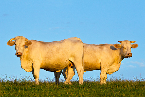 COW 02 KH0113 01 © Kimball Stock Two Charolais Cows Standing In Pasture At Sunset Profile