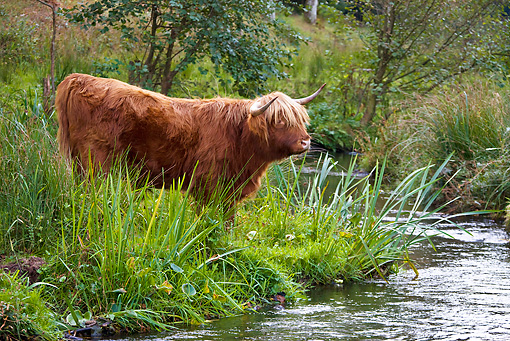 COW 02 KH0115 01 © Kimball Stock Highland Cow Standing Near Stream Profile