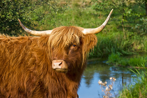 COW 02 KH0116 01 © Kimball Stock Close-Up Of Highland Cow Standing Near Stream Profile