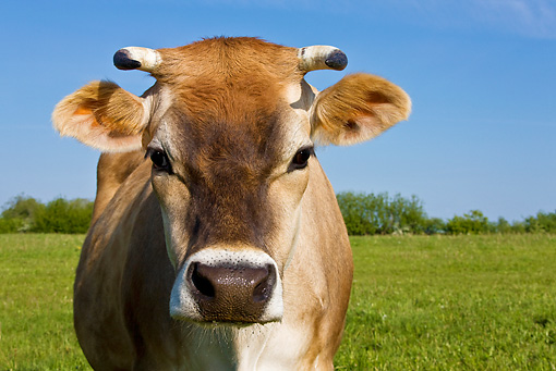 COW 02 KH0140 01 © Kimball Stock Close-Up Of Jersey Cow Standing In Meadow In Spring France