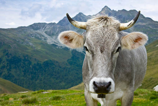 COW 02 KH0143 01 © Kimball Stock Head Shot Of Tyrol Grey Cow On Mountain Pasture