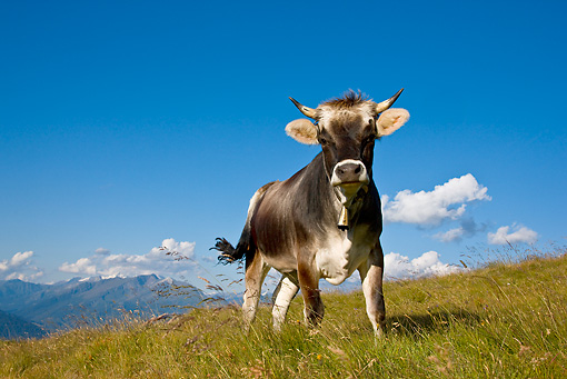 COW 02 KH0144 01 © Kimball Stock Tyrol Grey Cow Standing On Mountain Pasture Against Blue Sky