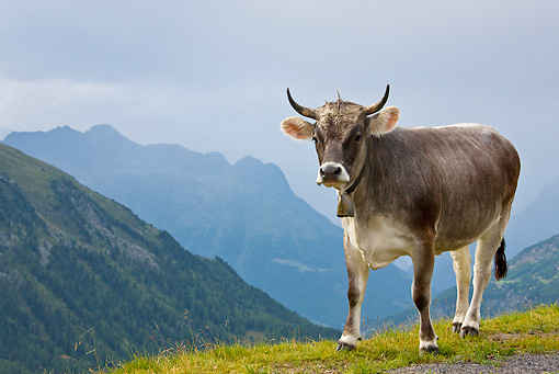 COW 02 KH0146 01 © Kimball Stock Tyrol Grey Cow Standing On Mountain Pasture