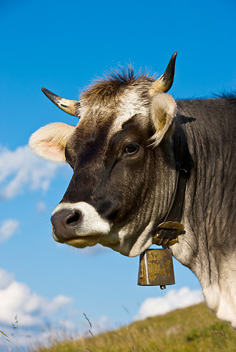 COW 02 KH0149 01 © Kimball Stock Head Shot Of Tyrol Grey Cow Standing On Mountain Pasture