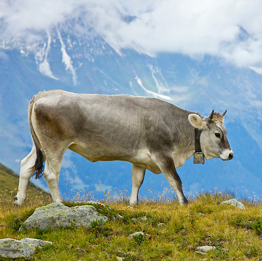 COW 02 KH0150 01 © Kimball Stock Tyrol Grey Cow Walking On Mountain Pasture