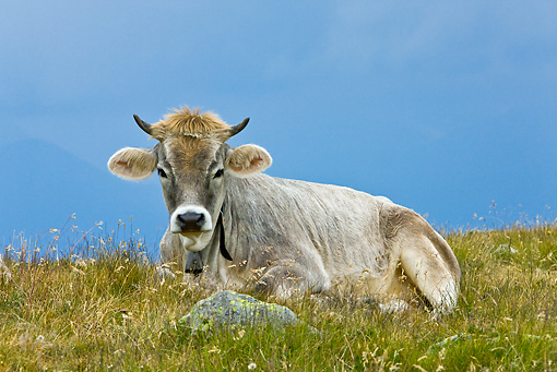 COW 02 KH0151 01 © Kimball Stock Tyrol Grey Cow Laying On Grass