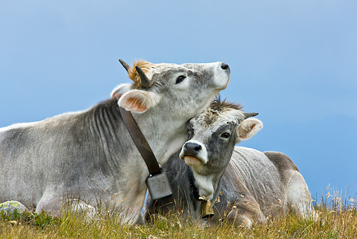 COW 02 KH0152 01 © Kimball Stock Tyrol Grey Cow Mother And Calf Nuzzling On Grass
