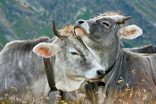 COW 02 KH0153 01 © Kimball Stock Tyrol Grey Cow Mother And Calf Nuzzling On Grass