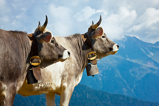 COW 02 KH0154 01 © Kimball Stock Two Tyrol Grey Cows Standing On Mountain Pasture