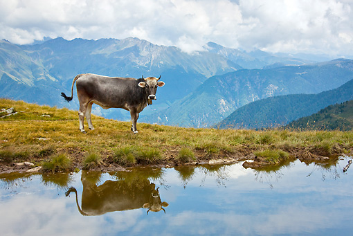 COW 02 KH0155 01 © Kimball Stock Tyrol Grey Cow Standing On Mountain Pasture Near Pond