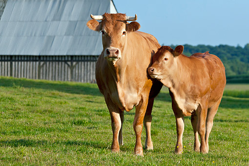 COW 02 KH0165 01 © Kimball Stock Limousin Cow And Calf Standing Near Barn Normandy