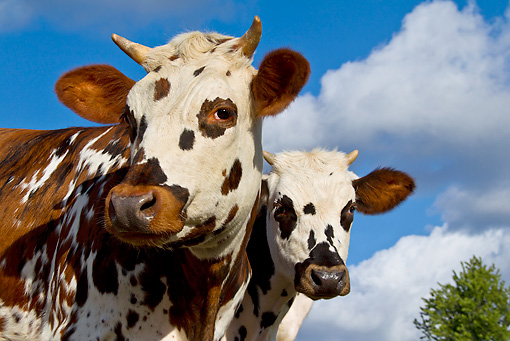 COW 02 KH0167 01 © Kimball Stock Portrait Of Two Normandy Cows Against Blue Sky Normandy