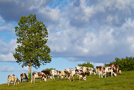 COW 02 KH0173 01 © Kimball Stock Normandy Cows Grazing In Pasture Normandy