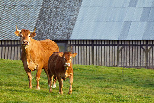 COW 02 KH0176 01 © Kimball Stock Limousin Cow And Calf Standing In Front Of Barn Normandy