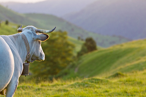 COW 02 KH0178 01 © Kimball Stock Gascon Cow Looking Toward Mountains In Pyrenees, France