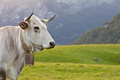 COW 02 KH0180 01 © Kimball Stock Gascon Cow Standing In Pasture By Mountains In Pyrenees, France
