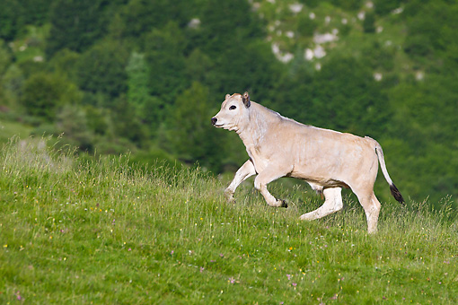 COW 02 KH0184 01 © Kimball Stock Gascon Calf Galloping In Summer Pasture In Pyrenees, France