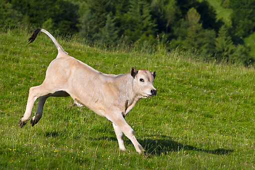 COW 02 KH0185 01 © Kimball Stock Gascon Calf Galloping In Summer Pasture In Pyrenees, France