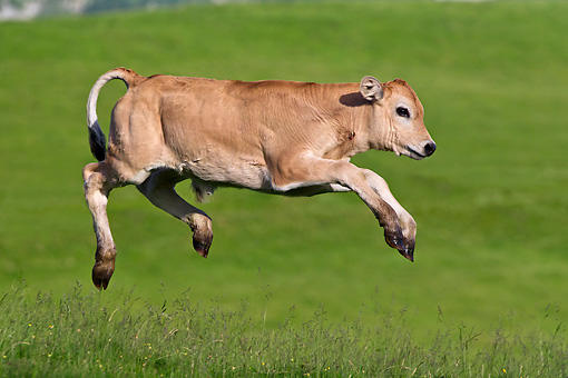 COW 02 KH0186 01 © Kimball Stock Gascon Calf Galloping In Summer Pasture In Pyrenees, France