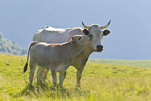 COW 02 KH0190 01 © Kimball Stock Gascon Calf Nuzzling Cow On Summer Pasture In Pyrenees, France