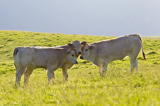 COW 02 KH0192 01 © Kimball Stock Gascon Cow And Calves Nuzzling On Summer Pasture In Pyrenees, France