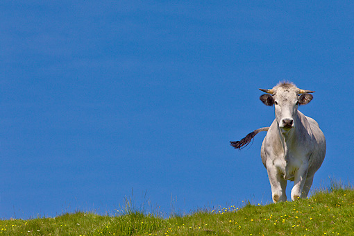 COW 02 KH0194 01 © Kimball Stock Gascon Cow Standing In Summer Pasture In Pyrenees, France