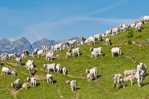COW 02 KH0195 01 © Kimball Stock Herd Of Gascon Cows Grazing In Summer Pasture In Pyrenees, France