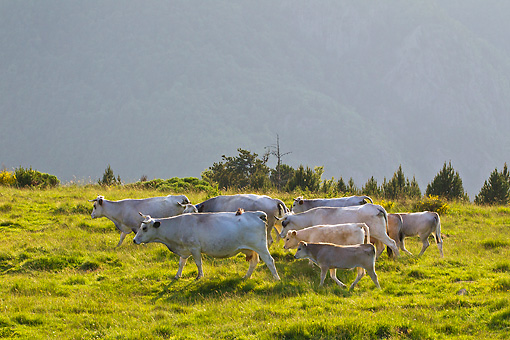 COW 02 KH0199 01 © Kimball Stock Herd Of Gascon Cows Grazing In Summer Pasture At Sunset In Pyrenees, France