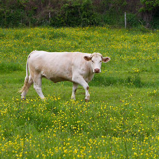 COW 02 KH0206 01 © Kimball Stock Charolais Cow Walking Through Spring Meadow France