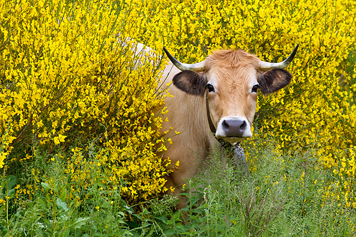 COW 02 KH0210 01 © Kimball Stock Aubrac Cow Standing In Yellow Wildflowers In Pyrenees, France