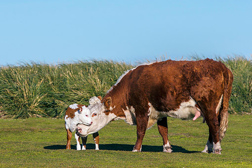 COW 02 KH0214 01 © Kimball Stock Hereford Cow Cuddling Calf By Tall Grass In Falkland Islands