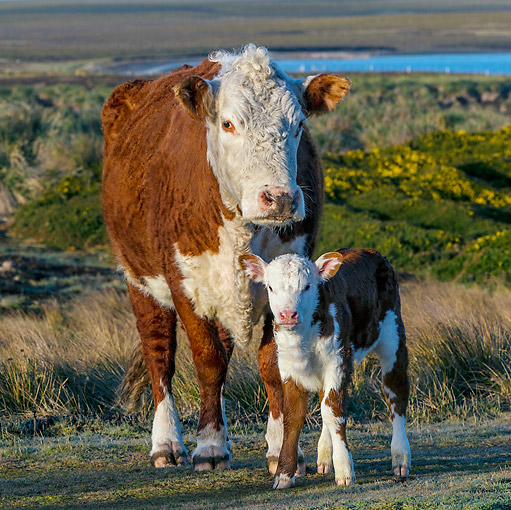 COW 02 KH0215 01 © Kimball Stock Hereford Cow Standing With Calf In Pasture Falkland Islands