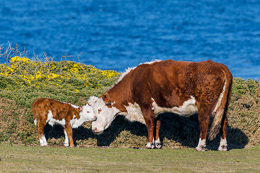 COW 02 KH0217 01 © Kimball Stock Hereford Cow Cuddling Calf By Sea In Falkland Islands