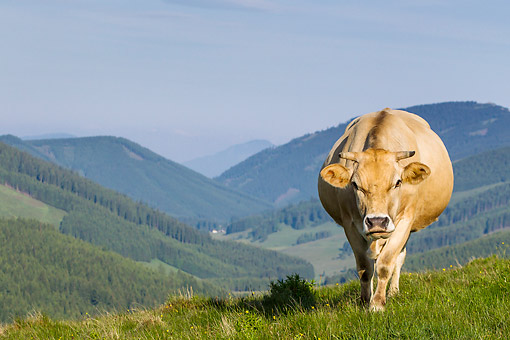 COW 02 KH0219 01 © Kimball Stock Murboden Cow Grazing On Pasture In Styria, Austria