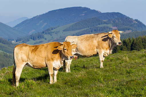 COW 02 KH0220 01 © Kimball Stock Murboden Cows Grazing On Pasture In Styria, Austria