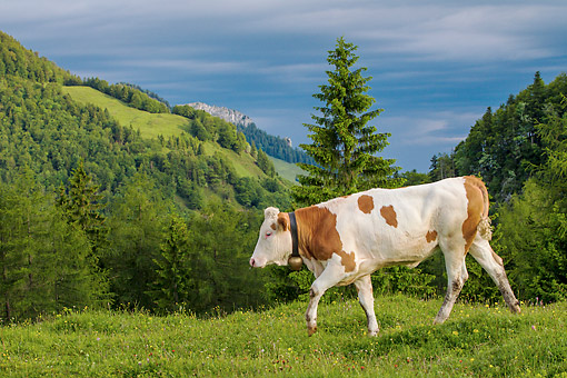 COW 02 KH0221 01 © Kimball Stock Simmental Cow Grazing On Pasture In Tirol, Austria