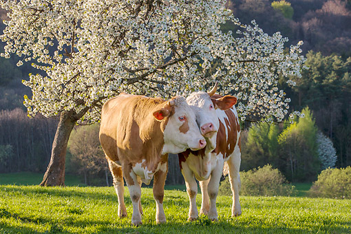 COW 02 KH0222 01 © Kimball Stock Two Simmental Cows Nuzzling Under Blossoming Cherry Tree In Spring France