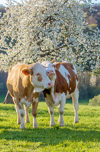 COW 02 KH0223 01 © Kimball Stock Two Simmental Cows Nuzzling Under Blossoming Cherry Tree In Spring France