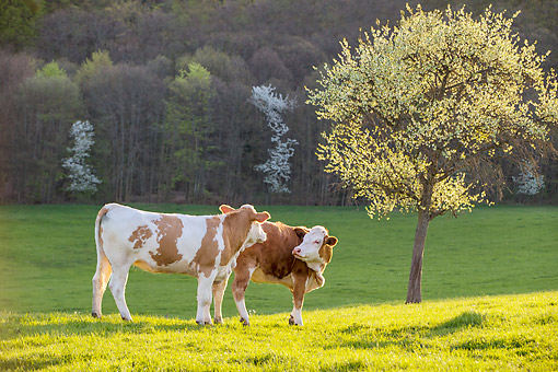 COW 02 KH0225 01 © Kimball Stock Two Simmental Cows Playing In Spring Orchard France