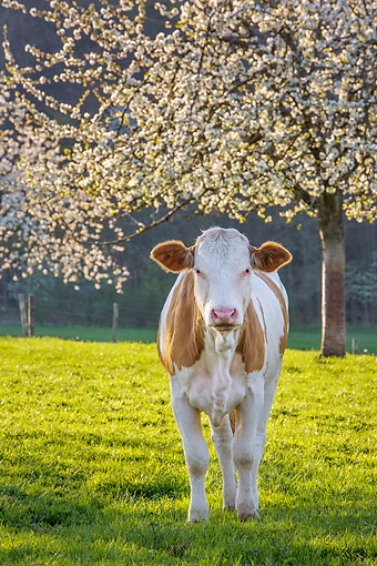 COW 02 KH0228 01 © Kimball Stock Simmental Cow Standing Under Cherry Blossom Tree In Spring France