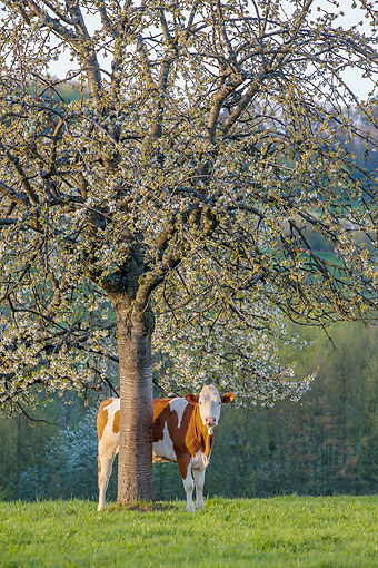 COW 02 KH0229 01 © Kimball Stock Simmental Cow Standing Under Cherry Blossom Tree In Spring France