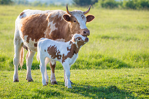COW 02 KH0231 01 © Kimball Stock Holstein Cow And Calf Nuzzling In A Meadow In Spring