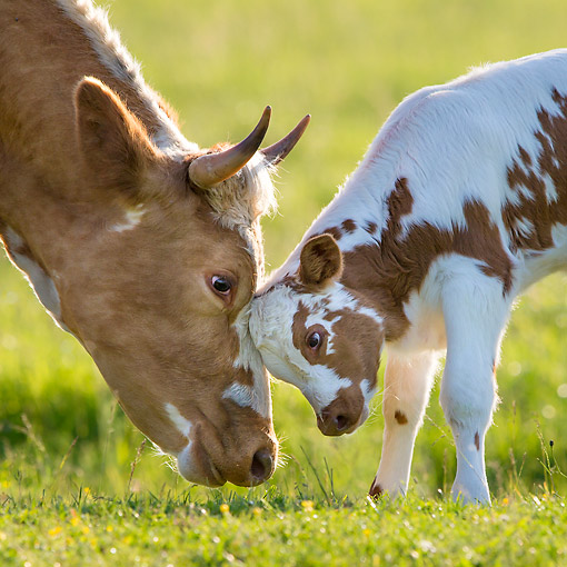 COW 02 KH0240 01 © Kimball Stock Holstein Calf Playing With Mother