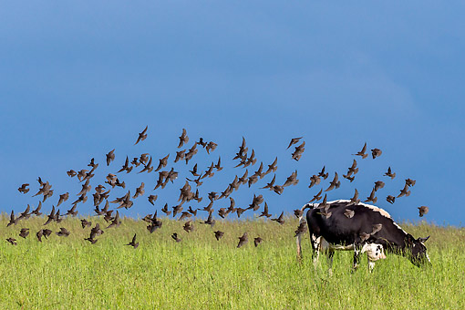 COW 02 KH0244 01 © Kimball Stock Prim-Holstein Cow Standing In Grass With Birds On Organic Farm