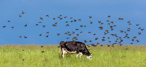 COW 02 KH0245 01 © Kimball Stock Prim-Holstein Cow Standing In Grass With Birds On Organic Farm