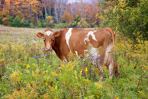 COW 02 LS0072 01 © Kimball Stock Guernsey Cow Standing In Pasture With Goldenrod And Purple Asters