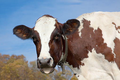 COW 02 LS0074 01 © Kimball Stock Portrait Of Ayrshire Cow Standing In Pasture Vermont