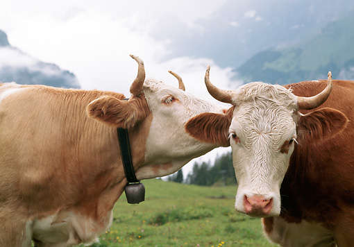 COW 02 LS0076 01 © Kimball Stock Close-Up Of Two Simmental Cows Standing In Pasture Switzerland