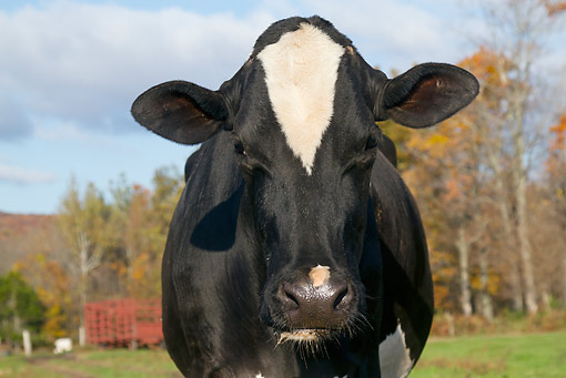 COW 02 LS0079 01 © Kimball Stock Close-Up Of Holstein Cow Standing At Edge Of Woodland